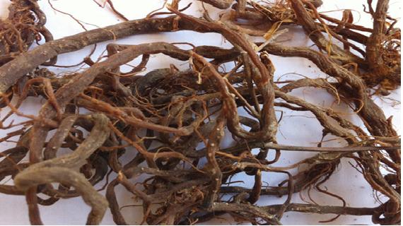 Cây cỏ xước trị bệnh gì là tốt?