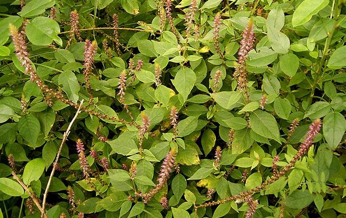 Cây cỏ xước trị bệnh gì?