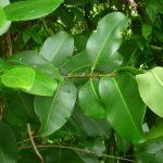 Lá vối tươi có độc không và nó có tác dụng gì với sức khỏe